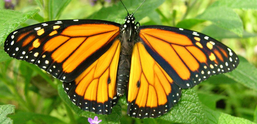 DL Butterflies Resource